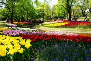 昭和記念公園のチューリップの写真素材 [FYI04484017]