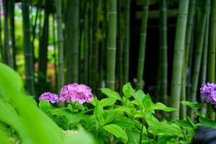 長谷寺の紫陽花の写真素材 [FYI04484027]