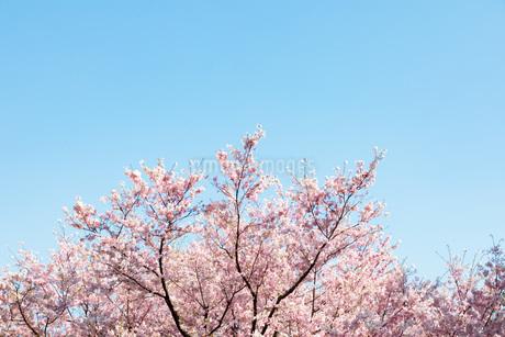 満開の桜の写真素材 [FYI04484181]