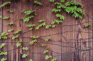 ツタの塀の写真素材 [FYI04484276]