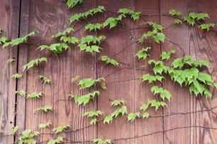 ツタの塀の写真素材 [FYI04484277]