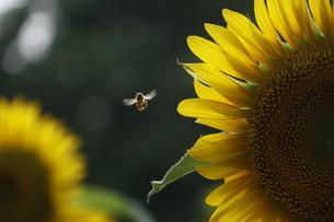 ヒマワリとミツバチの写真素材 [FYI04484410]
