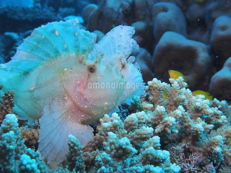 ハダカハオコゼ サンゴ 休憩時間の写真素材 [FYI04484529]
