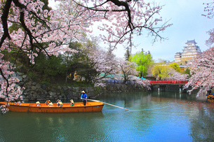 姫路城天守と桜に観光学習船の写真素材 [FYI04484544]