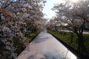 愛知県大口町五条川の花筏(はないかだ)の写真素材 [FYI04484623]