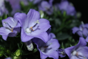 Purple Campanula portenschlagiana blooming in summer(Flower Close-up) - オトメギキョウ(キキョウ)の写真素材 [FYI04484638]