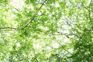 Early summer light peeking through the trees - 緑の木漏れ日の写真素材 [FYI04484643]