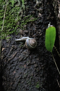 Early summer snail crawling on a tree - カタツムリの写真素材 [FYI04484644]