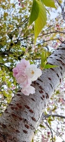桜の写真素材 [FYI04484665]