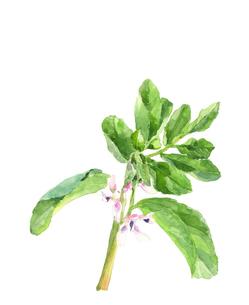 そら豆の花 水彩画 野菜の花 素材のイラスト素材 [FYI04484694]