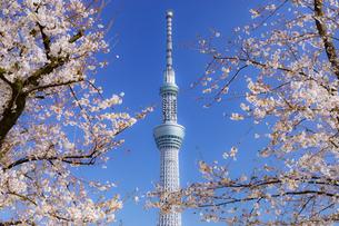 桜とスカイツリーの写真素材 [FYI04485070]