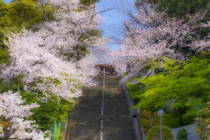 池上本門寺の満開の桜の写真素材 [FYI04485077]