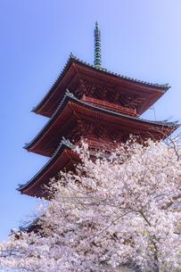 池上本門寺・五重塔との満開の桜の写真素材 [FYI04485079]
