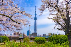 隅田公園の桜とスカイツリーの写真素材 [FYI04485084]