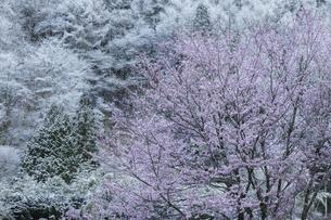 季節外れの降雪と桜の写真素材 [FYI04485187]