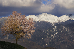 高山市丹生川町のオオヤマザクラと乗鞍岳の写真素材 [FYI04485189]