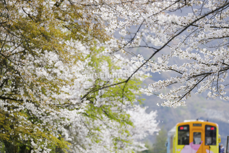 樽見鉄道谷汲口駅の桜風景の写真素材 [FYI04485191]