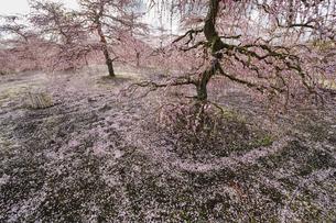 鈴鹿の森庭園の枝垂れ梅の写真素材 [FYI04485195]