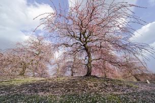 鈴鹿の森庭園の枝垂れ梅の写真素材 [FYI04485196]