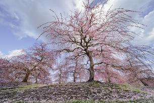 鈴鹿の森庭園の枝垂れ梅の写真素材 [FYI04485197]