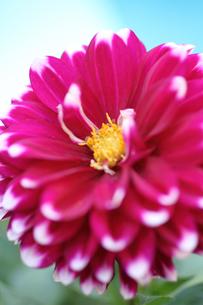 赤系濃いピンクダリア(生花)の写真素材 [FYI04485221]