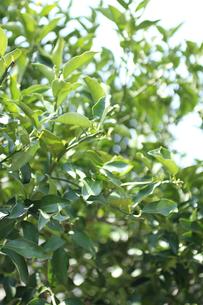 春の柚子の木(生花)の写真素材 [FYI04485251]