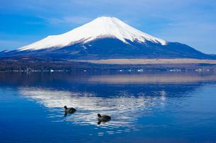 オオバンの泳ぐ山中湖畔の木道から富士山(逆さ富士)の写真素材 [FYI04485294]