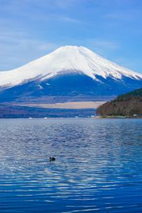 オオバンの泳ぐ山中湖畔から富士山の写真素材 [FYI04485326]