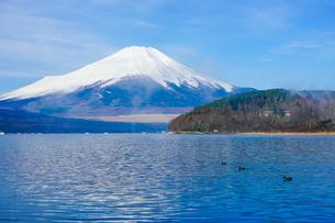 水鳥の泳ぐ山中湖畔から富士山の写真素材 [FYI04485337]