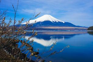 山中湖畔からネコヤナギ越しの富士山(逆さ富士)の写真素材 [FYI04485435]