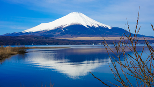山中湖畔からネコヤナギ越しの富士山(逆さ富士)の写真素材 [FYI04485437]