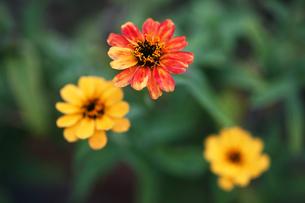 ジニア・リネアリスの花の写真素材 [FYI04485562]