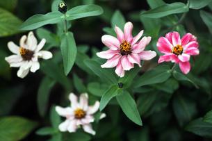 ジニア・リネアリスの花の写真素材 [FYI04485564]