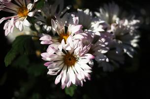 初冬に咲く風車菊の花の写真素材 [FYI04485569]