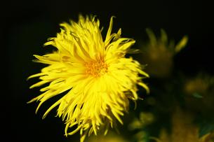 初冬に咲く嵯峨菊の花の写真素材 [FYI04485570]