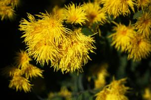 初冬に咲く嵯峨菊の花の写真素材 [FYI04485571]