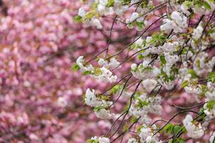 満開の八重桜の写真素材 [FYI04485601]