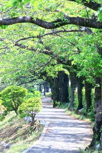 神奈川県 水無川の新緑並木トンネルの写真素材 [FYI04485659]