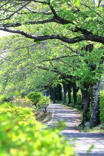 神奈川県 水無川の新緑並木トンネルの写真素材 [FYI04485662]