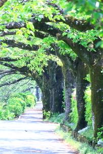 神奈川県 水無川の新緑並木トンネルの写真素材 [FYI04485664]