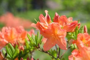 レンゲツツジの花の写真素材 [FYI04485674]