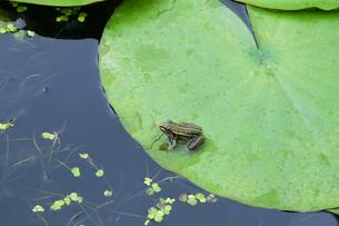 雨の日のカエルの写真素材 [FYI04485675]