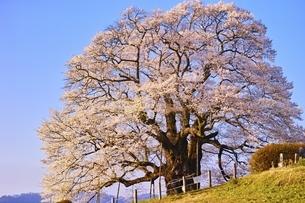 醍醐桜の写真素材 [FYI04485681]