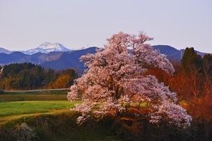 向野の江戸彼岸桜の写真素材 [FYI04485850]