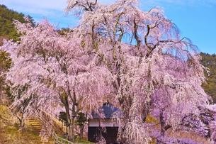 勝間薬師堂のしだれ桜の写真素材 [FYI04485867]