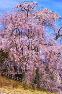 勝間薬師堂のしだれ桜の写真素材 [FYI04485868]