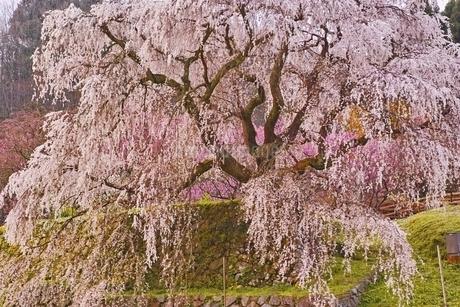 又兵衛桜の写真素材 [FYI04485869]