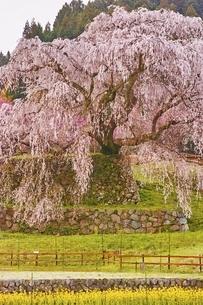 又兵衛桜の写真素材 [FYI04485870]