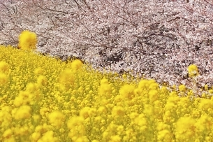 桜並木と菜の花畑の写真素材 [FYI04485887]