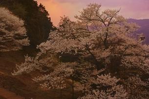 夕焼けに染まる樽見の大桜の写真素材 [FYI04485902]